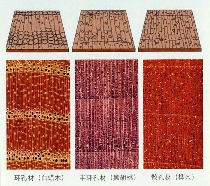 木材微观鉴定系列——木材横切面